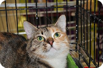 Domestic Shorthair Cat for adoption in Santa Monica, California - Katie