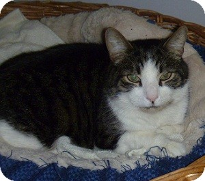 Domestic Shorthair Cat for adoption in Hamburg, New York - Sargent