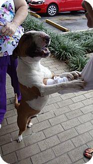 Bull Terrier Dog for adoption in Columbia, South Carolina - Maarten