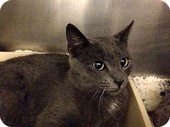 Russian Blue Cat for adoption in Brooklyn, New York - Natasha