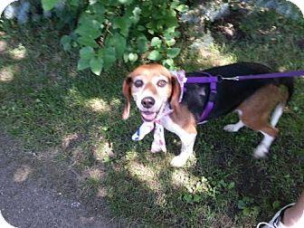 Beagle Dog for adoption in Iroquois, Illinois - Daisy Mae