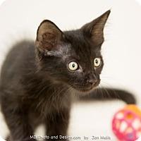 Adopt A Pet :: Cavalier - Fountain Hills, AZ