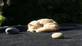 Domestic Longhair Cat for adoption in McArthur, California - Cuddles