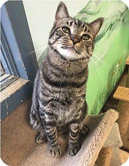 Domestic Shorthair Cat for adoption in Cody, Wyoming - Freddy