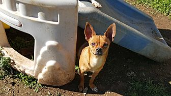 Rat Terrier/Chihuahua Mix Dog for adoption in Pflugerville, Texas - Alley