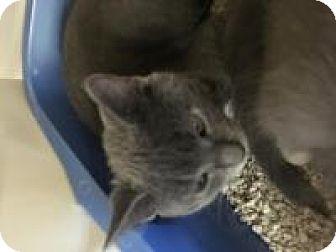 Domestic Shorthair Kitten for adoption in Franklin, West Virginia - Lulu
