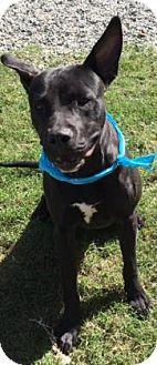 Pit Bull Terrier Mix Dog for adoption in Greensboro, North Carolina - Lex