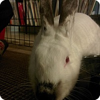 Adopt A Pet :: Tilly - San Antonio, TX
