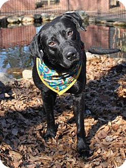 Retriever (Unknown Type) Mix Dog for adoption in East Randolph, Vermont - Snoop