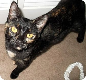 Domestic Shorthair Cat for adoption in Jacksonville, Florida - White Paw