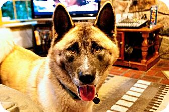 Akita Dog for adoption in Toms River, New Jersey - Shelby, Courtesy Post