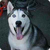 Adopt A Pet :: Chinook - Canoga Park, CA