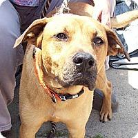 Adopt A Pet :: BUDDY BOY - Glastonbury, CT