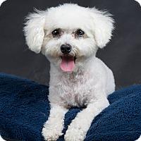 Adopt A Pet :: Curly Sue - Nuevo, CA