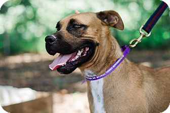 American Staffordshire Terrier Mix Dog for adoption in Seneca, South Carolina - Lyra $125
