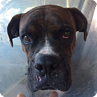 Boxer Dog for adoption in Austin, Texas - Draco