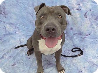 Pit Bull Terrier Mix Dog for adoption in Hawthorne, California - Ned