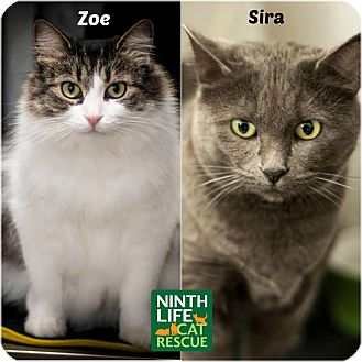 Domestic Shorthair Cat for adoption in Oakville, Ontario - Zoe & Sira