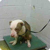 American Pit Bull Terrier Mix Dog for adoption in Atlanta, Georgia - KELSEY
