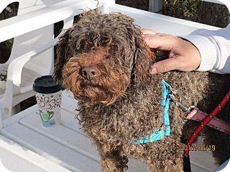 Poodle (Standard) Dog for adoption in Freeport, New York - Charlie