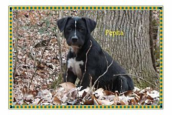 Labrador Retriever/American Staffordshire Terrier Mix Puppy for adoption in Colmar, Pennsylvania - Pepita
