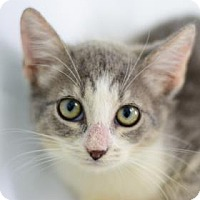 Adopt A Pet :: Crookshanks - Bradenton, FL