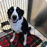Adopt A Pet :: SAMPSON - Canfield, OH