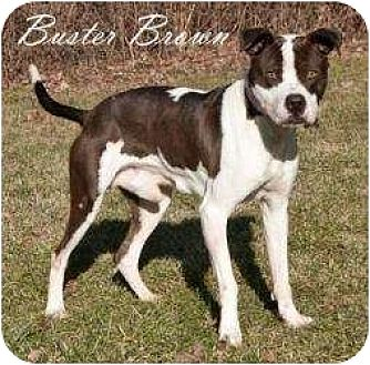 Boxer/American Pit Bull Terrier Mix Dog for adoption in Hartland, Michigan - Buster Brown