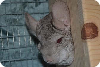 Chinchilla for adoption in Patchogue, New York - Temperance