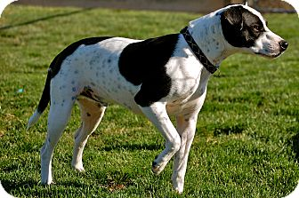 Jack Russell Terrier Mix Dog for adoption in Meridian, Idaho - Sherman
