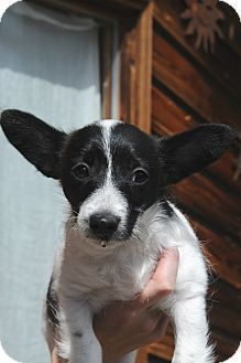 Jack Russell Terrier Mix Puppy for adoption in Denver, Colorado - Squeakers