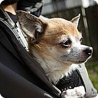 Adopt A Pet :: Moose - Portland, OR