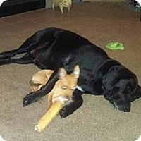 Adopt A Pet :: Emmett - Seattle, WA