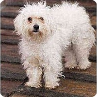 Adopt A Pet :: Monica - Portland, OR