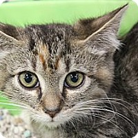 Adopt A Pet :: Chrissy torbie - Santa Monica, CA