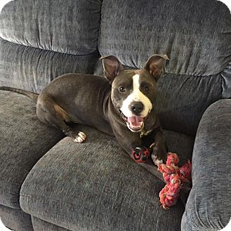 American Pit Bull Terrier Mix Dog for adoption in Spring Hill, Florida - Skywalker