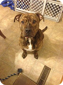 Pit Bull Terrier Mix Dog for adoption in Pataskala, Ohio - Apollo (adoption pending)