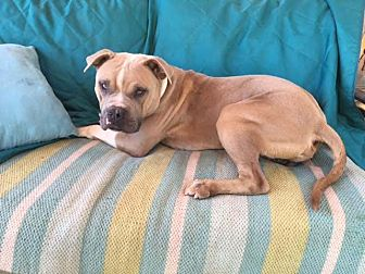 American Staffordshire Terrier Mix Dog for adoption in Toluca Lake, California - Bamboo