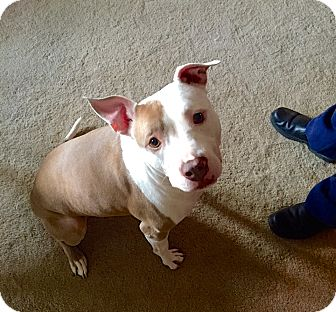 American Pit Bull Terrier Mix Dog for adoption in Reisterstown, Maryland - Dutchess