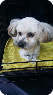 Maltese/Yorkie, Yorkshire Terrier Mix Dog for adoption in Santa Ana, California - Teddy - (RC)