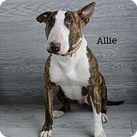 Bull Terrier Dog for adoption in Denver, Colorado - Allie