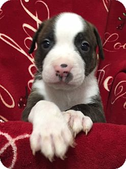 American Staffordshire Terrier/American Pit Bull Terrier Mix Puppy for adoption in San Diego, California - Vader