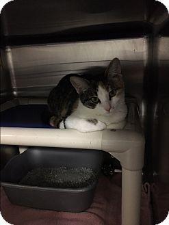 Domestic Shorthair Cat for adoption in Walker, Louisiana - Cali