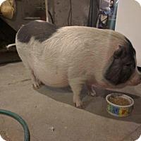 Pig (Potbellied) for adoption in Orwigsburg, Pennsylvania - Miss Margaret (*Courtesy Post)