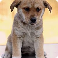 Adopt A Pet :: Apple - Waldorf, MD