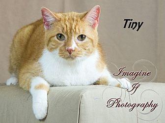 Domestic Shorthair Cat for adoption in Oklahoma City, Oklahoma - Tiny