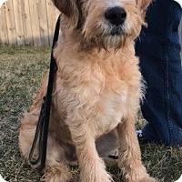 Goldendoodle Mix Puppy for adoption in Fairfax, Virginia - Cooper #3