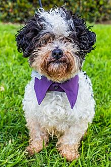 Poodle (Miniature)/Shih Tzu Mix Dog for adoption in San Diego, California - Fallbrook
