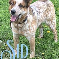 Adopt A Pet :: Sid - Cheney, KS