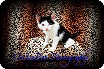 Domestic Mediumhair Kitten for adoption in Warren, Michigan - Keefe
